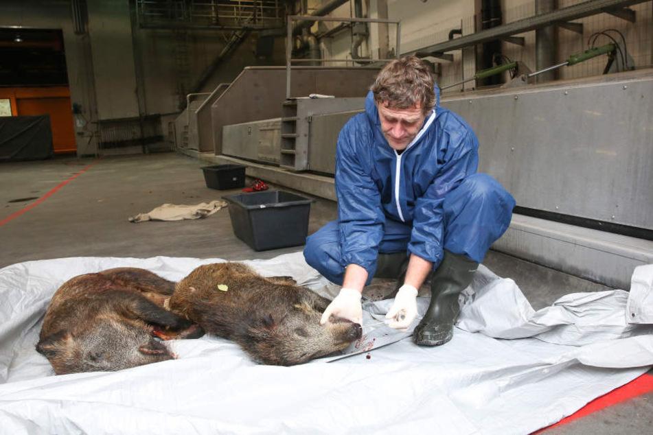 Die Afrikanische Schweinepest ist bis Belgien vorgestoßen.