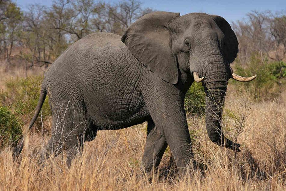 Ausgewachsene Afrikanische Elefanten wiegen etwa 6000 Kilo.