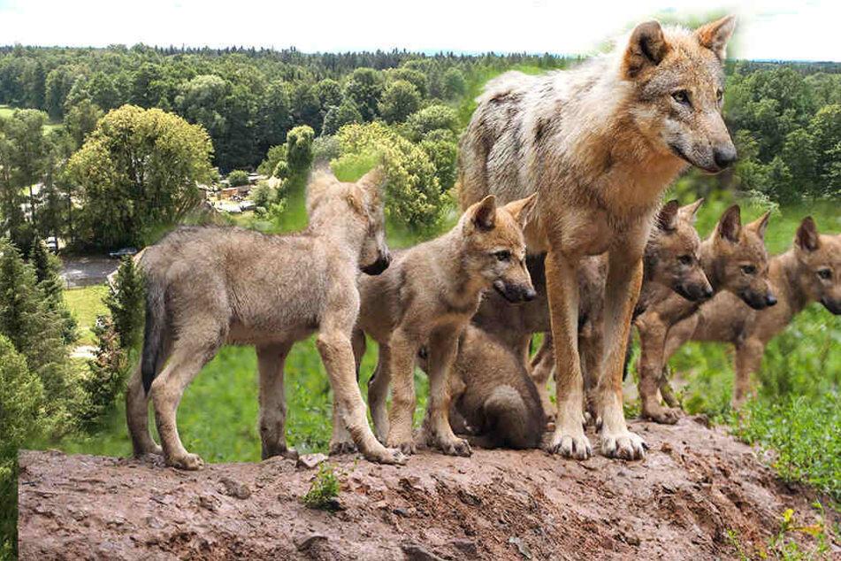 Fotofalle bringt den Beweis: Erstes Wolfsrudel in der Dresdner Heide!