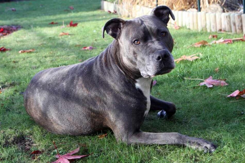 Unfassbar! Tierquäler ließ Kampfhund fast verhungern