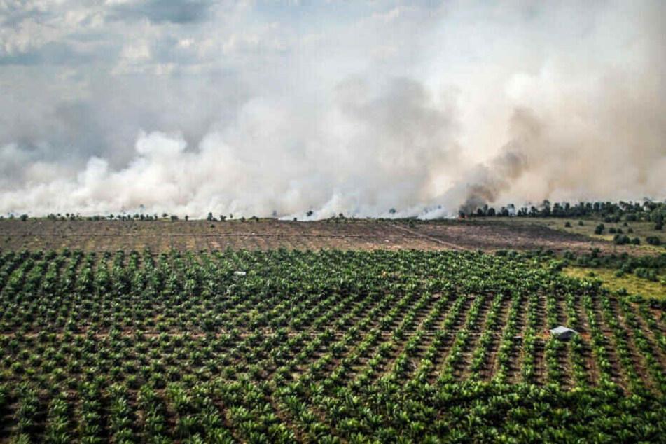 Das Gelände neben einer Palmöl-Plantage brennt und wird durch die Rodung als Anbaufläche vorbereitet.