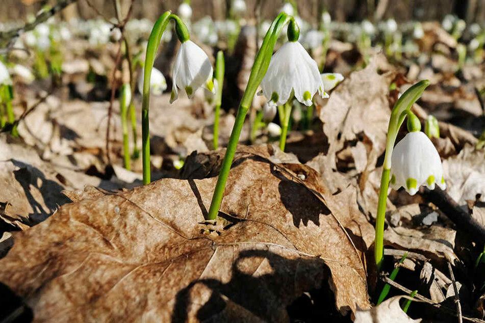 Die ersten Vorboten des Frühlings kann man auf Leipzigs Grünflächen bereits begrüßen: Schneeglöckchen im Auenwald.