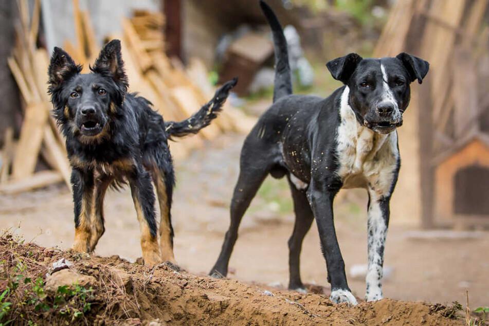 Beide Hunde wurden von der Polizei erschossen (Symbolbild).