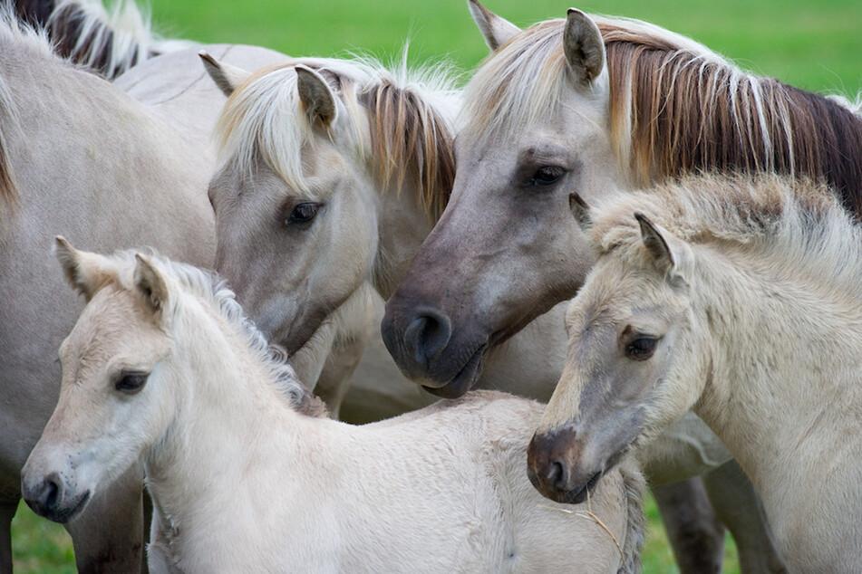 """20 Pferde laufen frei durch Ort: """"Woher die kommen, wissen wir auch nicht"""""""