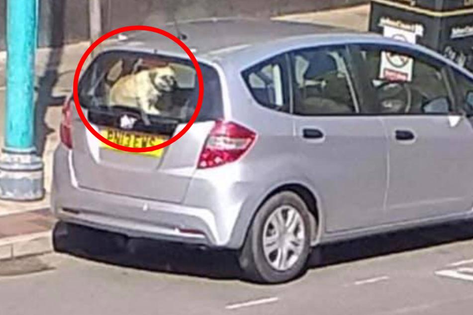 Tödliche Gefahr: Hund bei praller Sonne im Auto zurückgelassen