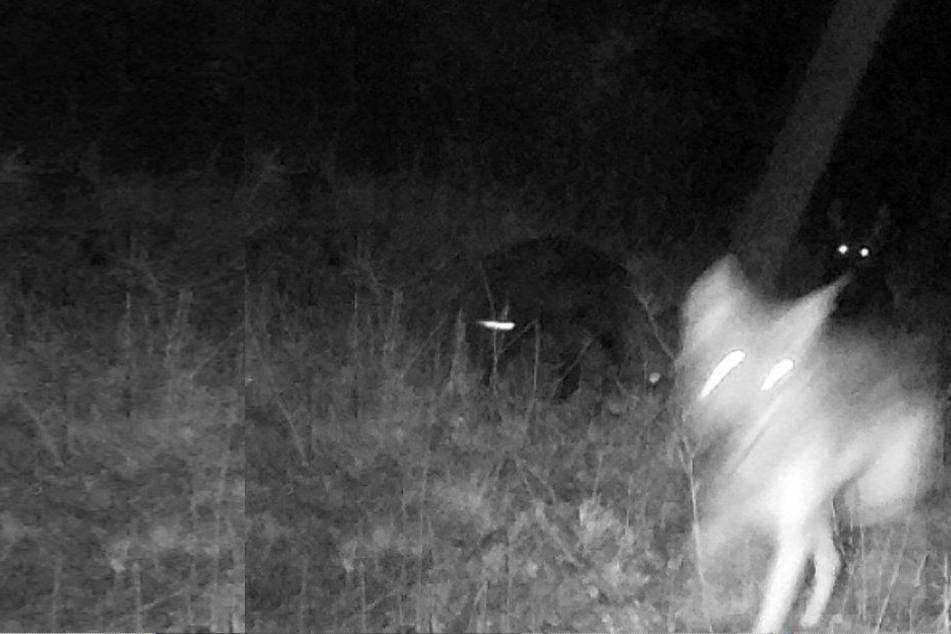 Eine der wenigen Aufnahmen, die es vom Muttertier und ihren Jungen gibt.