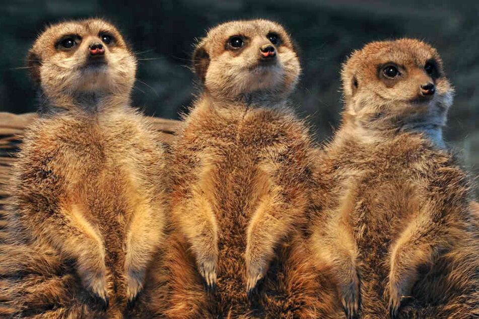 Erdmännchen im Kölner Zoo durcheinander gewirbelt