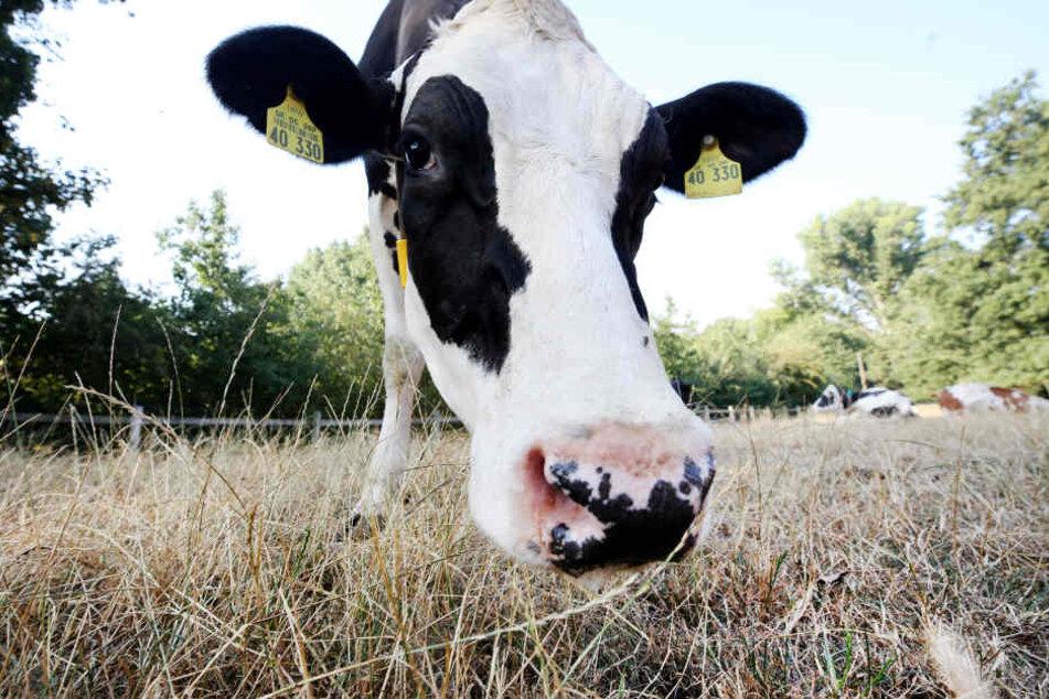Die Kühe von Milchbauer Leuchtenberg stehen auf der knochentrockenen Weide hinter dem Hof.