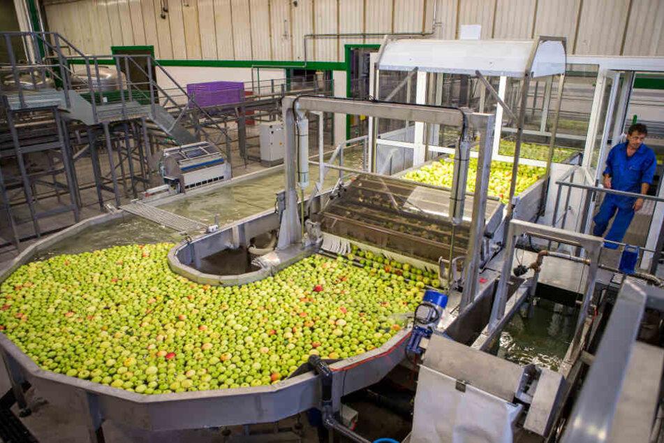 Die nagelneue Apfel-Sortieranlage wird ab sofort das Kernstück der Obstland-Produktion.