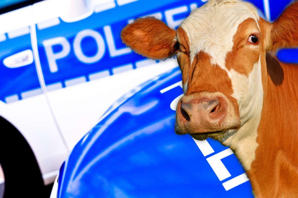 Fotomontage: Am Freitagabend musste die Polizei in Aschaffenburg einem ausgebüxten Rindvieh hinterherjagen (Symbolbild).
