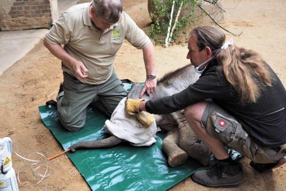 Während des Aufwachens wurde der kleine Elefant von seinem Pfleger und Arzt überwacht.