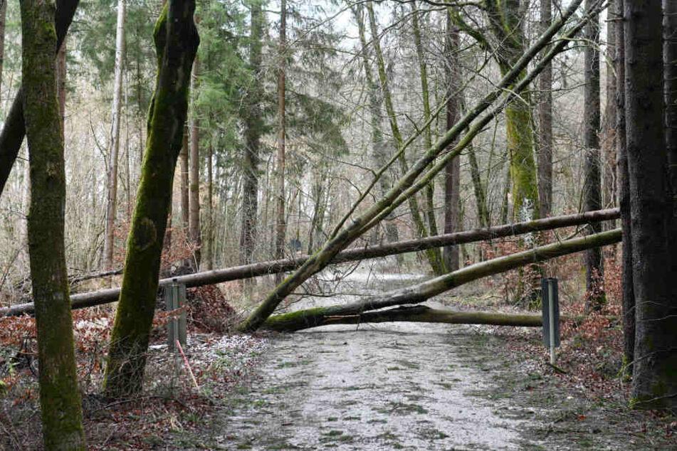 """Durch """"Sabine"""" wurden in NRW etwa 180.000 Bäume zerstört."""