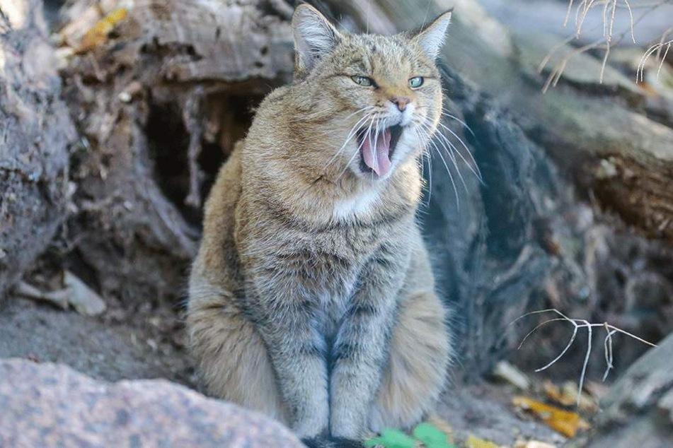 Miau! Eine der Wildkatzen beobachtete Mittwoch das Richtfest ihres neuen Domizils.