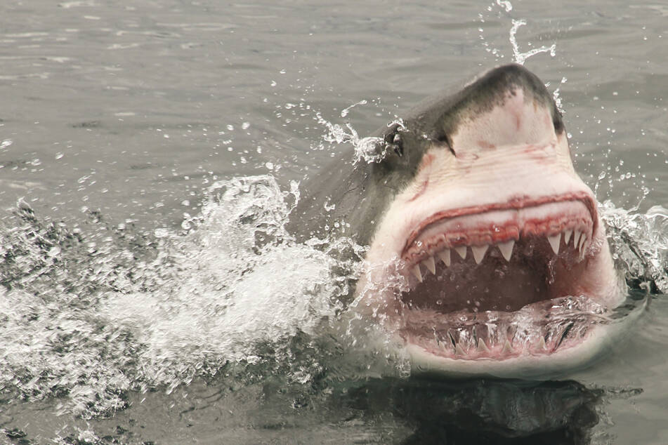 Surfer rettet Frau, indem er Weißen Hai verprügelt