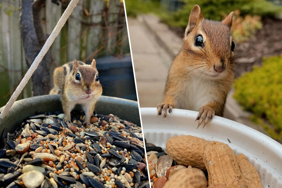 This well-trained chipmunk will do anything for some nuts!