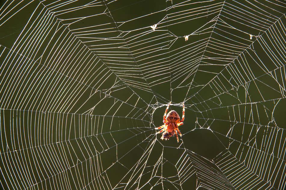 Egal wie groß oder klein, dick oder dünn: Eine Spinne will wohl wirklich niemand in seinem Ohr haben.