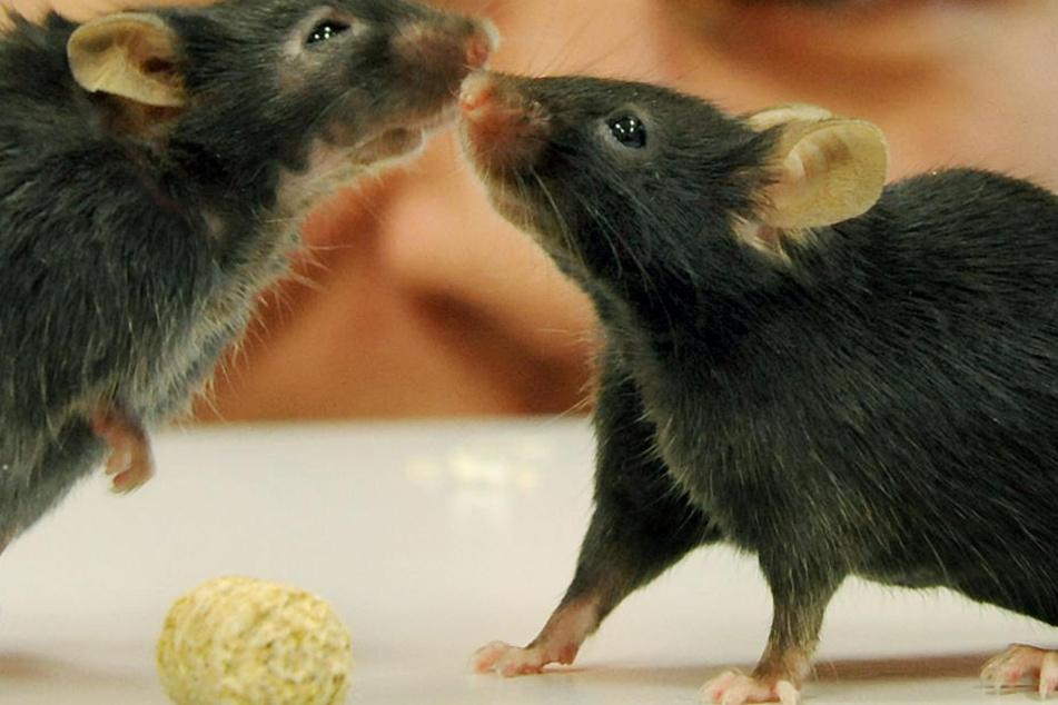 Bei Mäusen hat es schon mal geklappt: Dichter Haarwuchs durch den Lebensmittelzusatz Dimethylpolysiloxan.