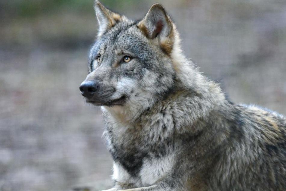 Wölfe dürfen wohl auch in Zukunft nicht gejagt werden. (Symbolbild)