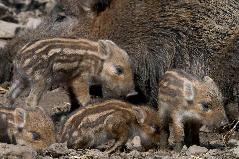 Dank milden Klimas: Besonders viele Wildschweine in Bayern