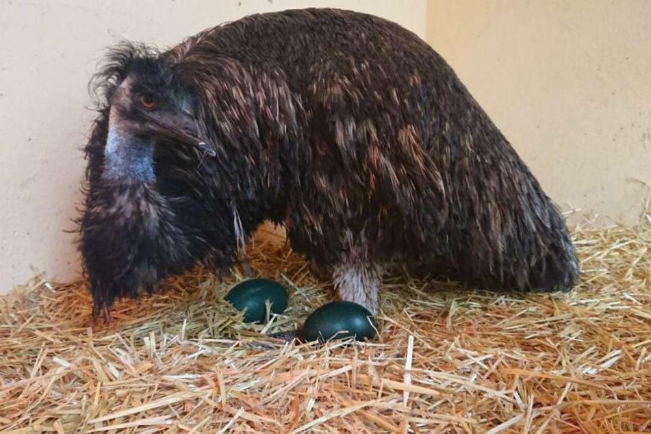 Emu Curly ist ein Super-Papa und will auch in diesem Jahr wieder brüten.