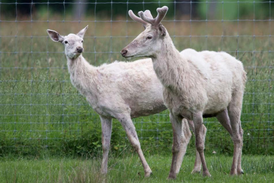 Die weißen Hirsche im Reinhardswald gaben lange Zeit Rätsel auf.