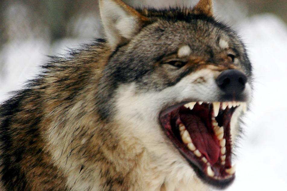 Blutbad in Oberbayern: Treibt hier ein Wolf sein Unwesen?