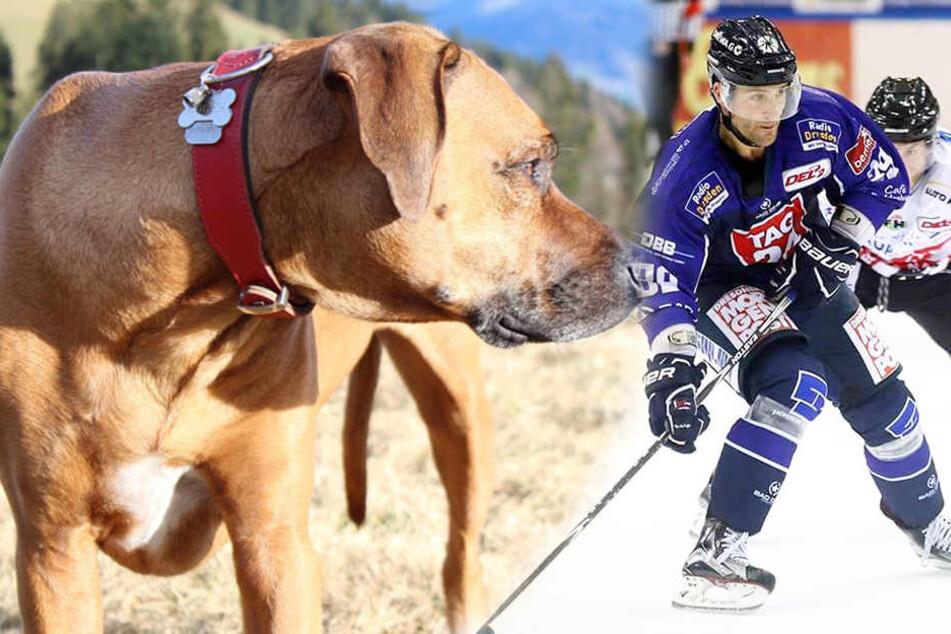 Eislöwe Siddall verzweifelt: Hund Roger immer noch verschwunden