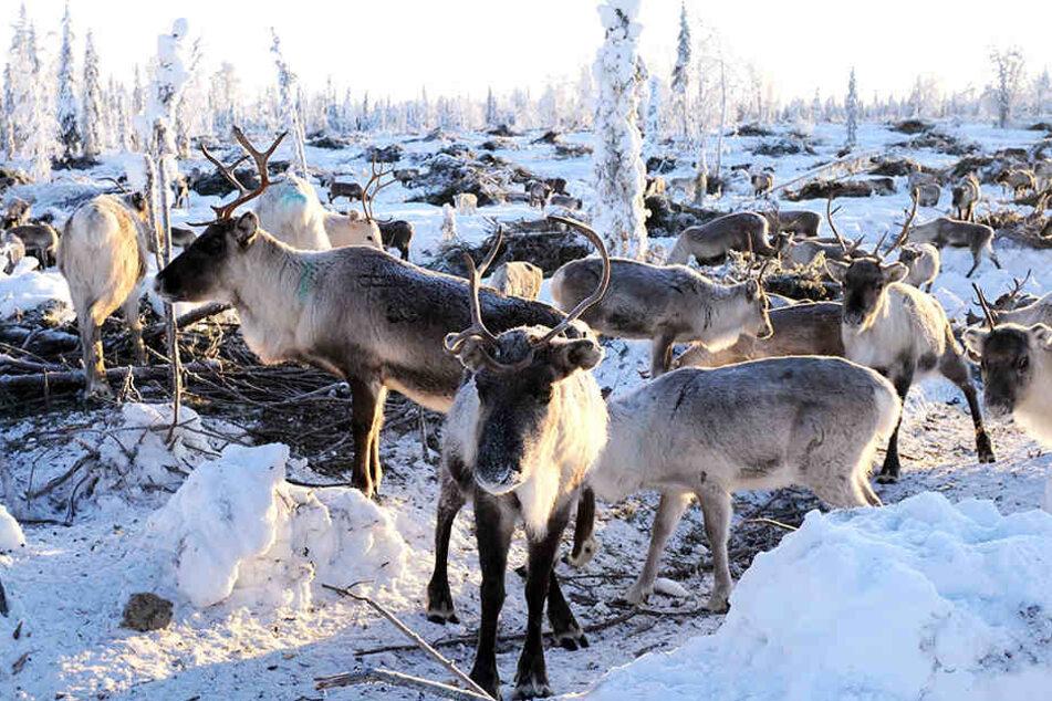 Tausende Wildtiere mussten in Norwegen umgebracht werden.