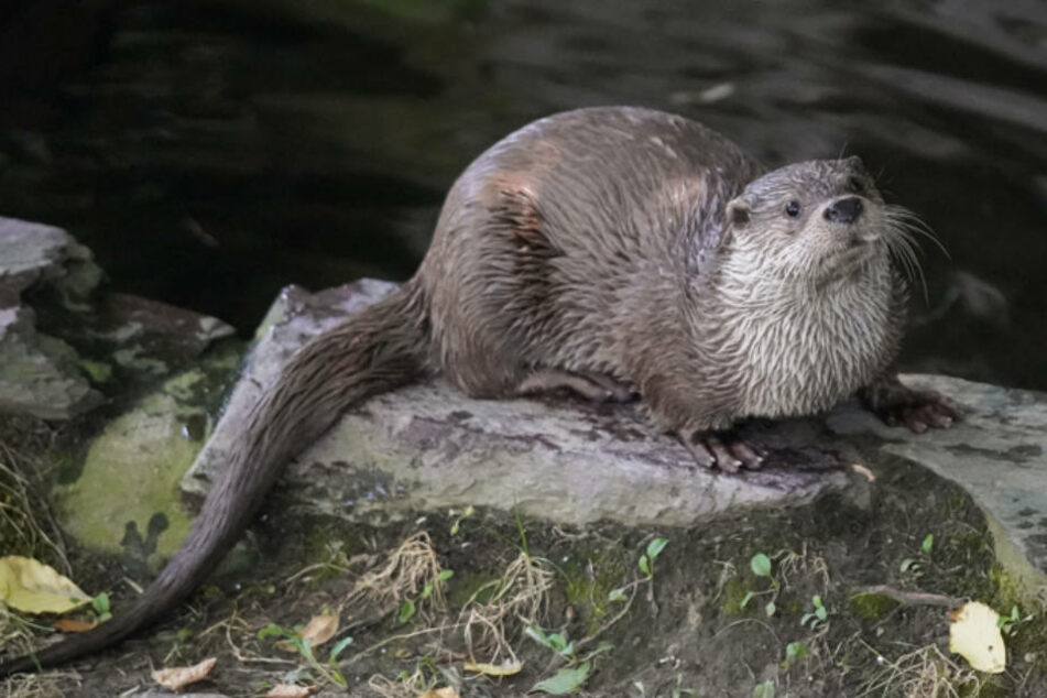 Fischotter Nikola soll im Kölner Zoo für Nachwuchs sorgen.