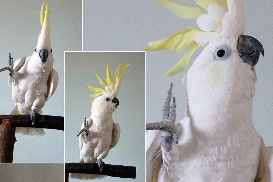 """Youtube-Star """"Snowball"""": Kakadu bringt sich selbst Tanzschritte bei"""