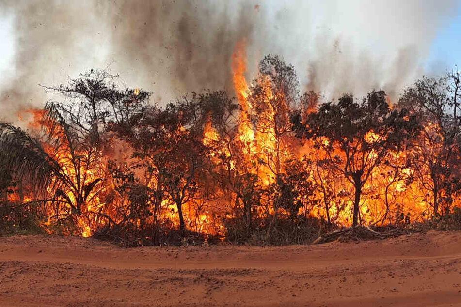 Seit Wochen wüten Tausende Feuer im Amazonas-Gebiet und den angrenzenden Steppengebieten.