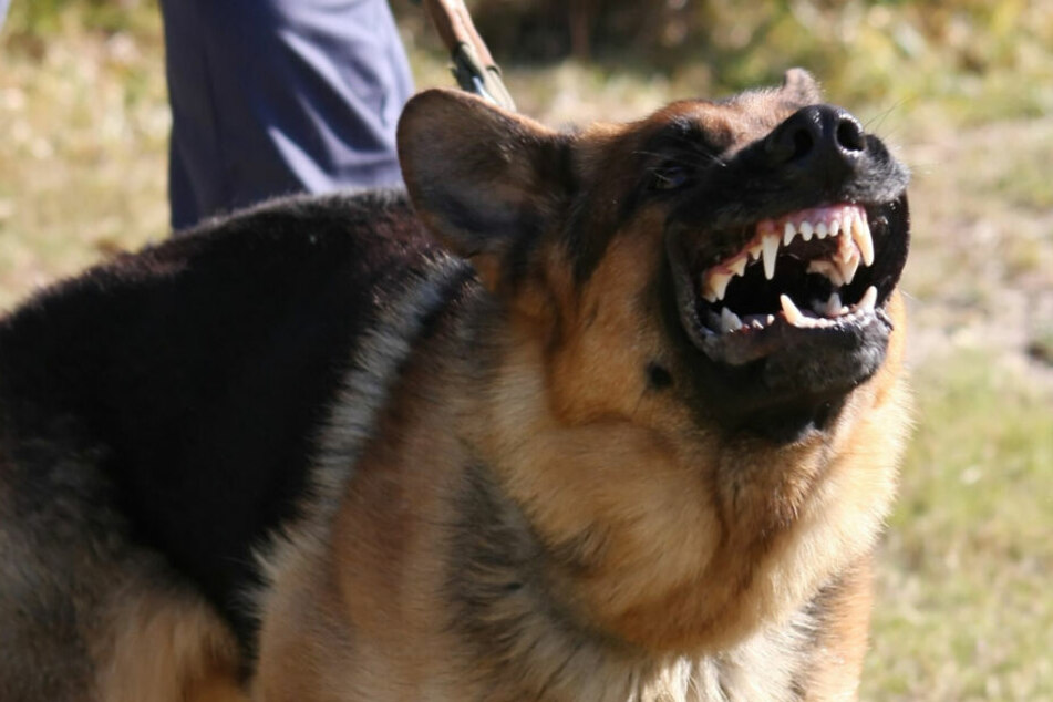 Der aggressive Vierbeiner attackierte die Frau zuerst am Knöchel (Symbolfoto).