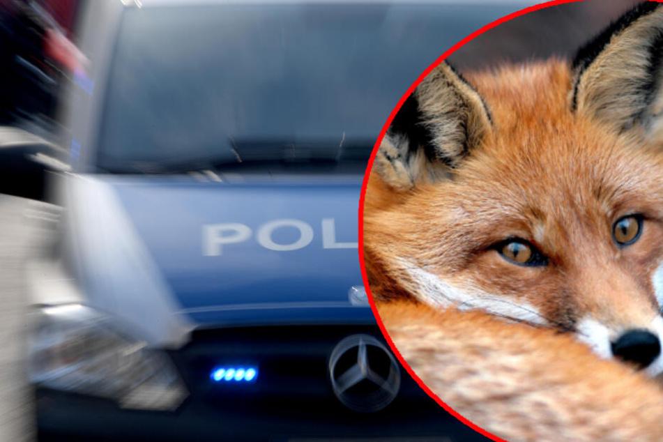Fuchs absichtlich getötet: Polizisten überfahren verletztes Tier