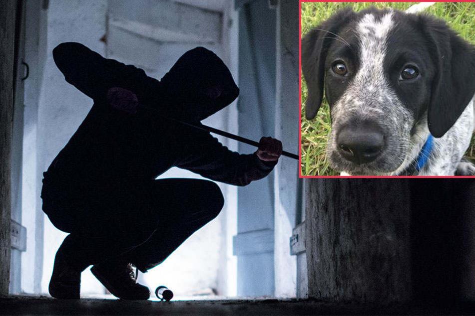 Nachdem der Einbrecher und Dieb gestellt wurde, fand man im Keller des 26-Jährigen dessen in einem Schrank eingesperrten Hund (Symbolbilder).