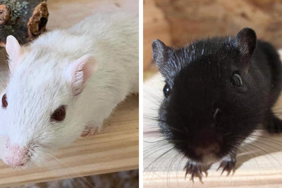 Angst vor Mäusen? Beim Blick in diese neugierigen Augen nicht mehr!