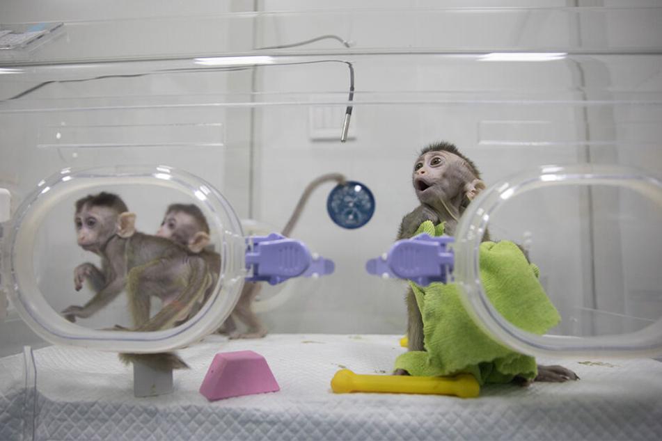 Wie es den Makaken derzeit geht, ist unklar.