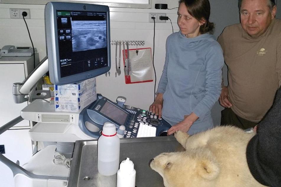 Eisbär Fritz wird mit Ultraschall von den Tierärzten Dr. Susanne Holtze (IZW) und Dr. Günter Strauß (Tierpark) untersucht.