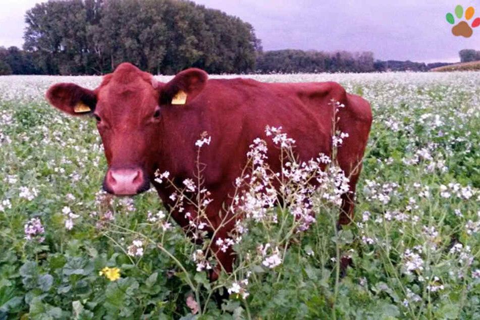 Die Kuh Elsa floh wochenlang vorm Schlachter und wird einer der ersten Bewohner des Gnadenhofs sein.