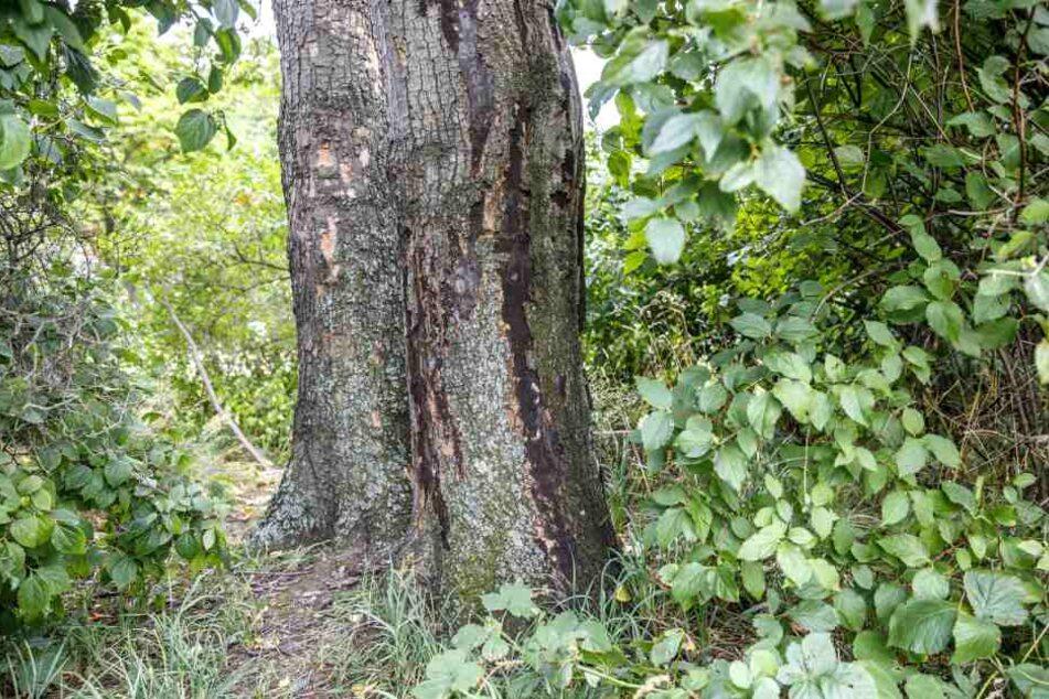 Die Schleimflussflecken am Stamm zeigen deutlich: Dieser Ahorn leidet an der Rußrindenkrankheit - und wird wohl nicht mehr lange stehen.