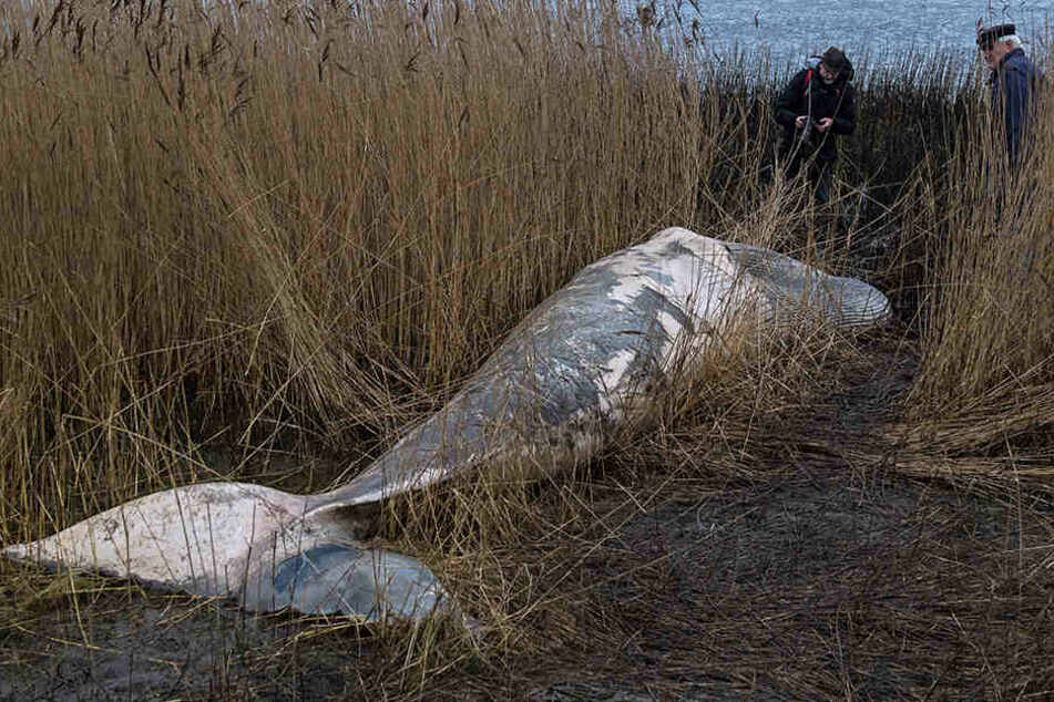 Spaziergänger entdeckten am Weserufer einen 7,2 Meter langen Zwergwal.