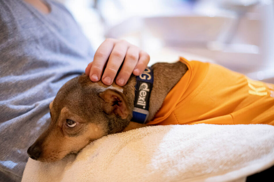 Peppi, Therapiehund, sitzt im Behandlungzimmer einer Zahnarztpraxis in Berlin-Charlottenburg auf dem Schoß eines Patienten.