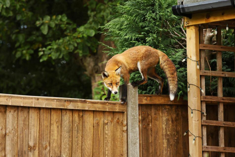 Der Fuchs schlich sich über den Balkon einfach ins Hotelzimmer. (Symbolbild)