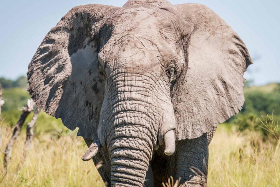 Allein in den letzten drei Monaten töteten Elefanten in der Gegend drei Menschen. (Symbolbild)