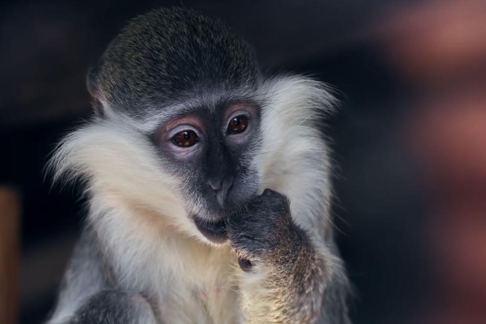 Ein kleiner Affe zog einer Frau jetzt das Top runter.
