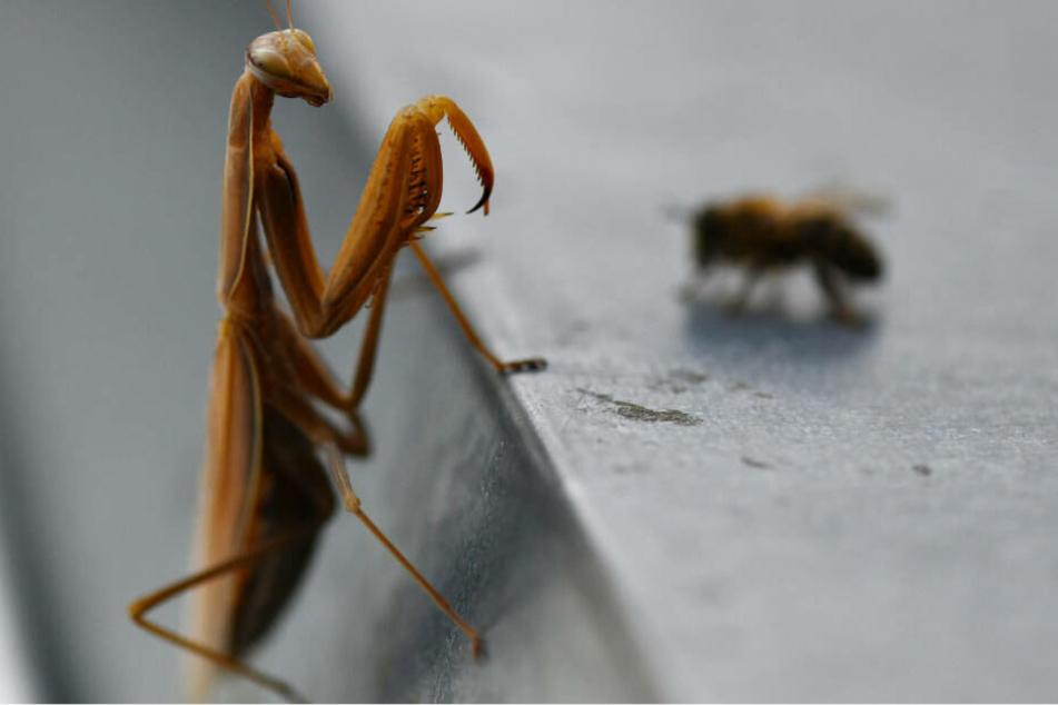 Für diese Biene dürfte die Begegnung mit der Fangschrecke aber nicht gut enden.