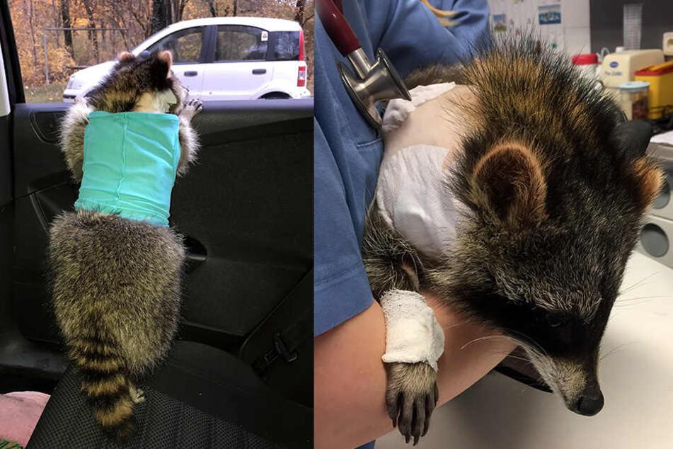 Dem erst sechs Monate alten Waschbären ist in München ein Herzschrittmacher eingesetzt worden.
