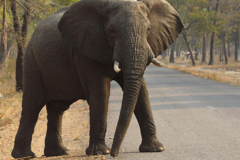 Elefanten werden in ihren Lebensräumen immer mehr beschnitten und fühlen sich oftmals bedroht.