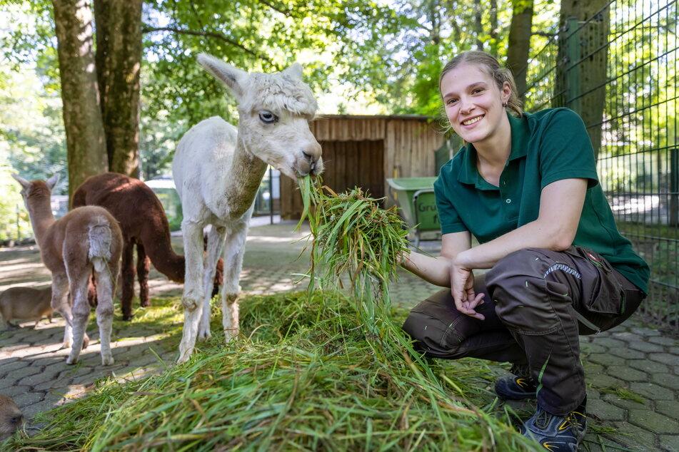 Die Alpakas fressen ihr schon aus der Hand: Sara Grundmann hat als neue Auszubildende im Tierpark angefangen.