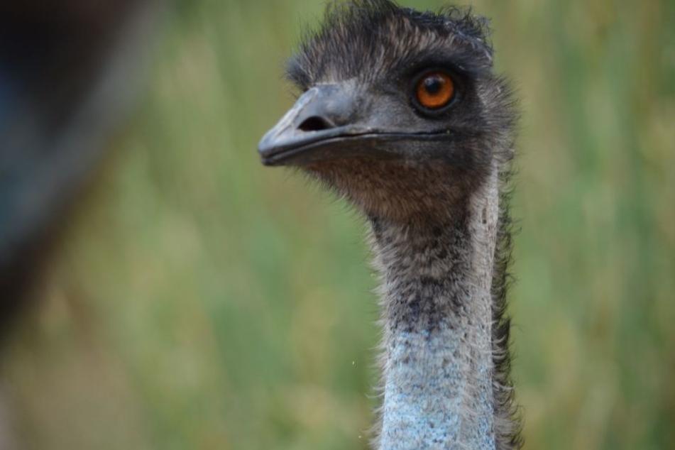 Der entlaufene Emu hielt Polizei und Tierrettung auf Trab. (Symbolbild)
