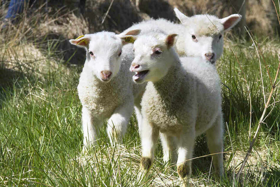 Unbekannte töteten auf einer Koppel mehrere Schafe.